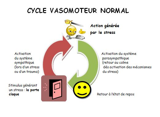 cycle vasomoteur normal
